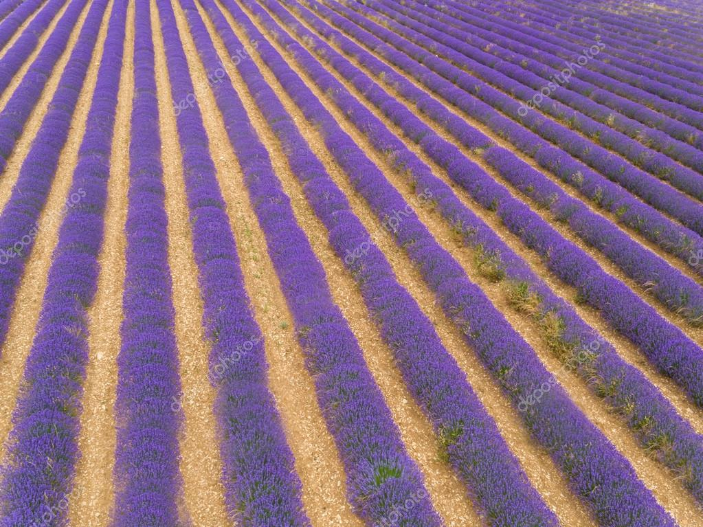 Aerial view of lavender field in full blooming season