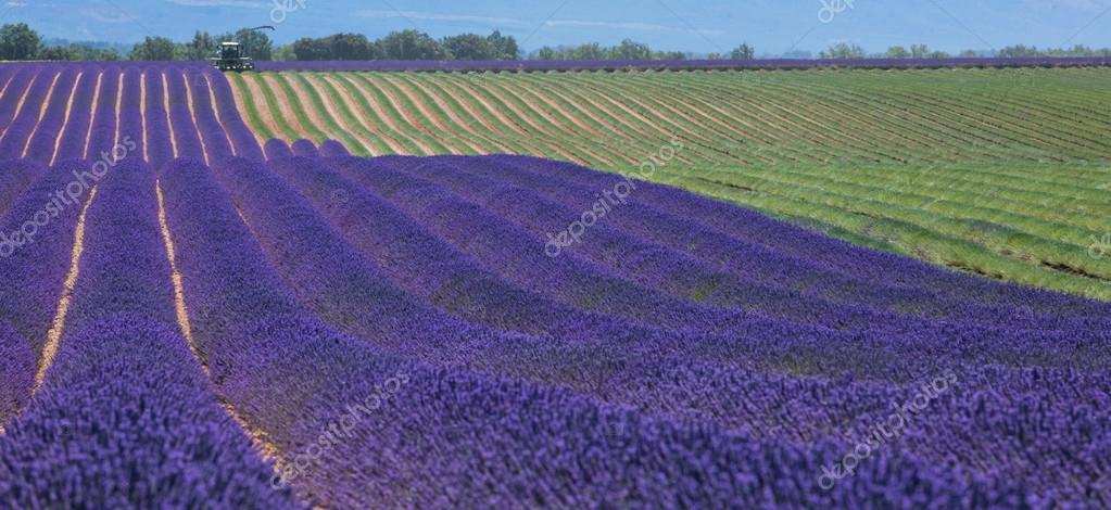 Lavender field in France during harvest