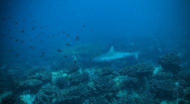 Reef shark flowing in coral bottom