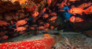 Reef shark sleeping under coral cave
