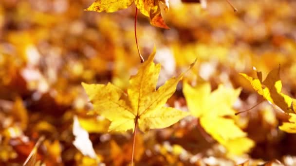 Super zpomalený pohyb padajících podzimních javorových listů. Natočeno na vysokorychlostní kameře, 1000 fps.