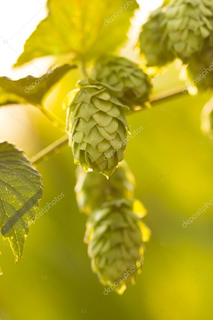 Macro photo of green hops