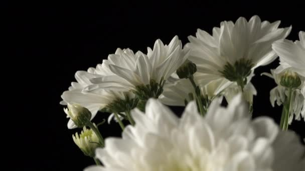 Bílé chryzantémy zblízka na černém pozadí.