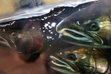 Fear Chinook Coho Salmon Close Up Issaquah Hatchery Washington S