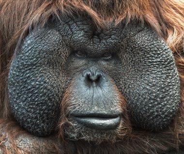 Portrait of Orangutan