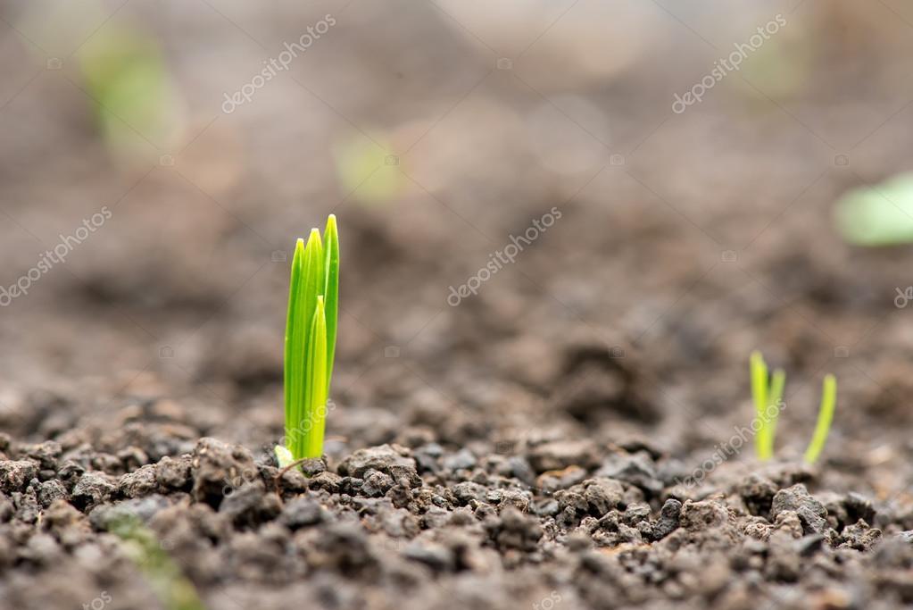 germinated plants in the spring garden