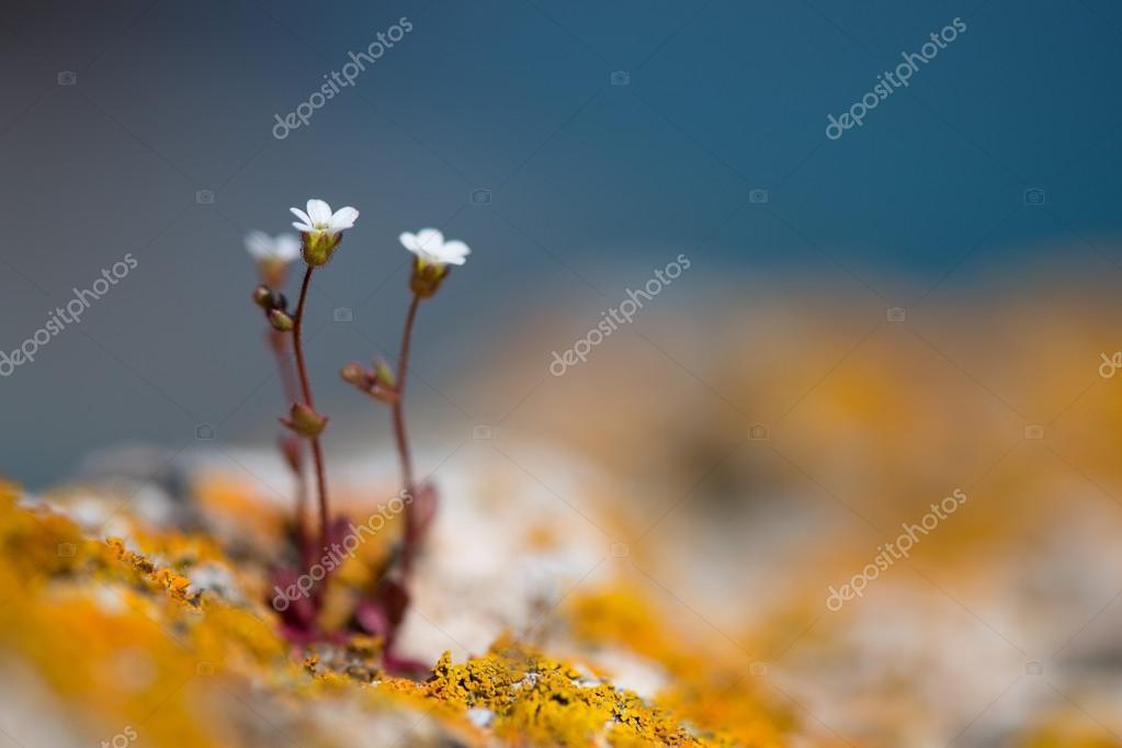 wilden weißen Felsens Blumen - Tiefenschärfe, Kopie, Raum ...