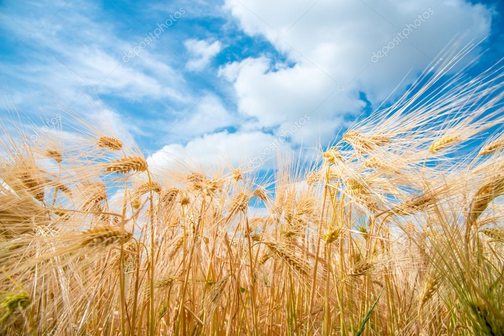 Cereal Plants, Barley, with different focus