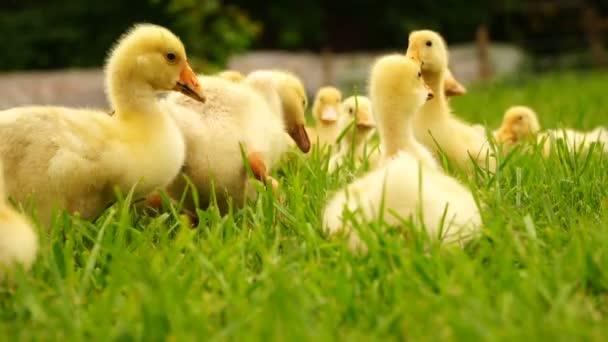 footage little ducklings walking outdoors on green grass