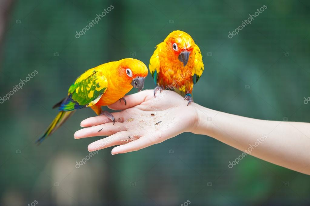 Feeding Colorful parrots