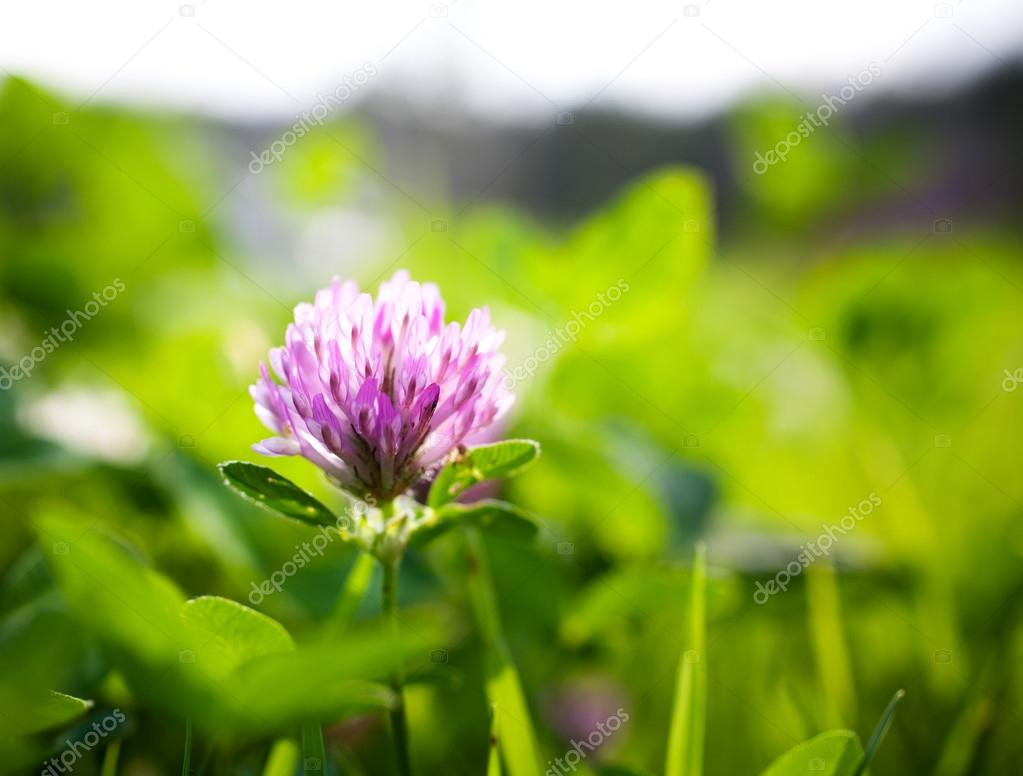 Purple Clover In Garden Stock Photo Molka 118058162