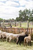 Fotografia Pecore nella farm in estate