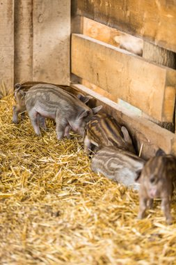 Piglets in the barn