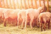 Fotografia Pecore di fuori della fattoria