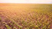 Fotografia Vista campo di girasoli