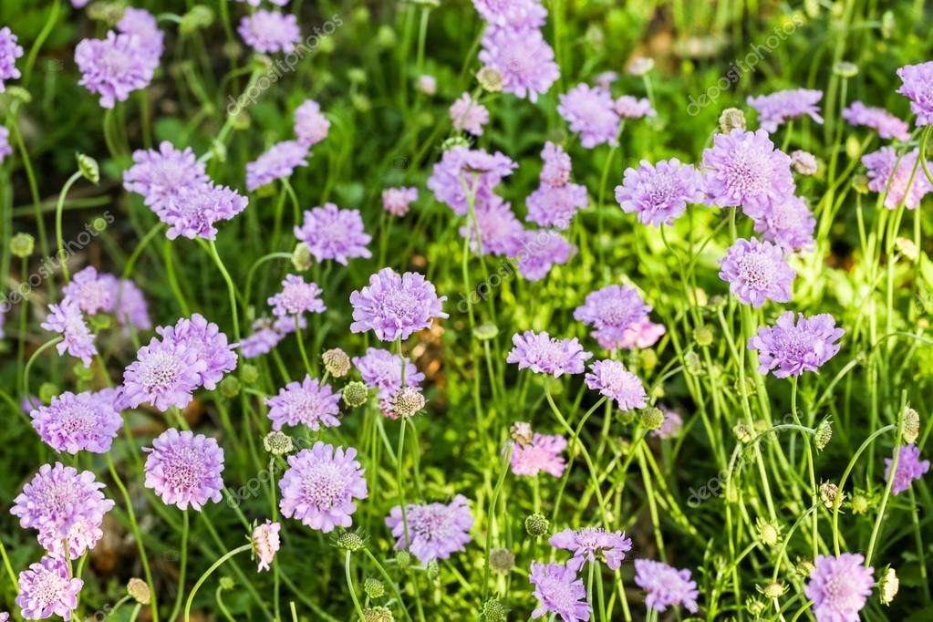 Blooming purple flowers of Scabiosa