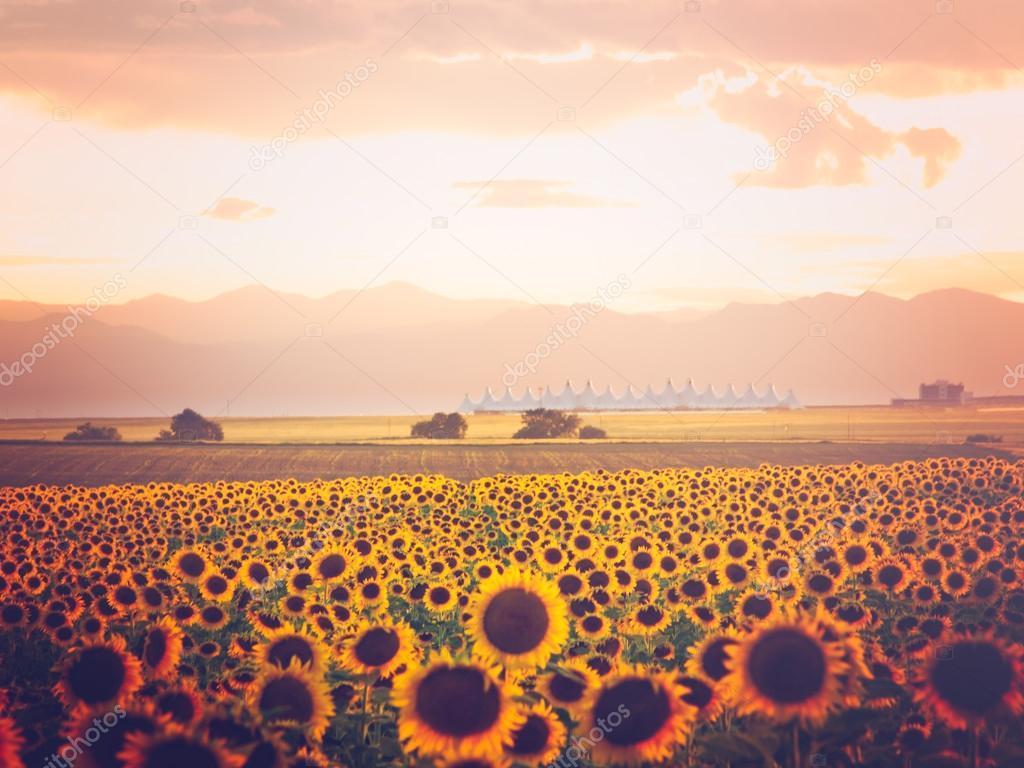 Sunflower field view