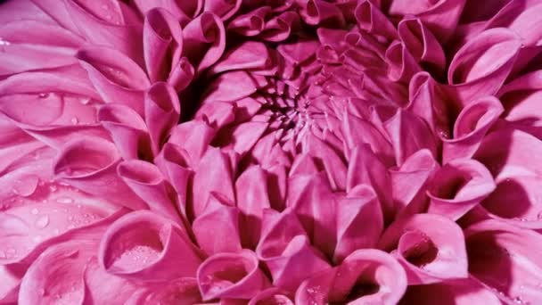 Egy lila Dahlia virág fekete háttérrel. közeli ap és forgatható