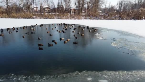 Ducks in water top view. Ducks top view scene. Birds wait out the winter in the ice hole in water top view