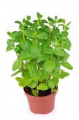 fresh pepper mint flowerpot plant leaves on white isolated background.