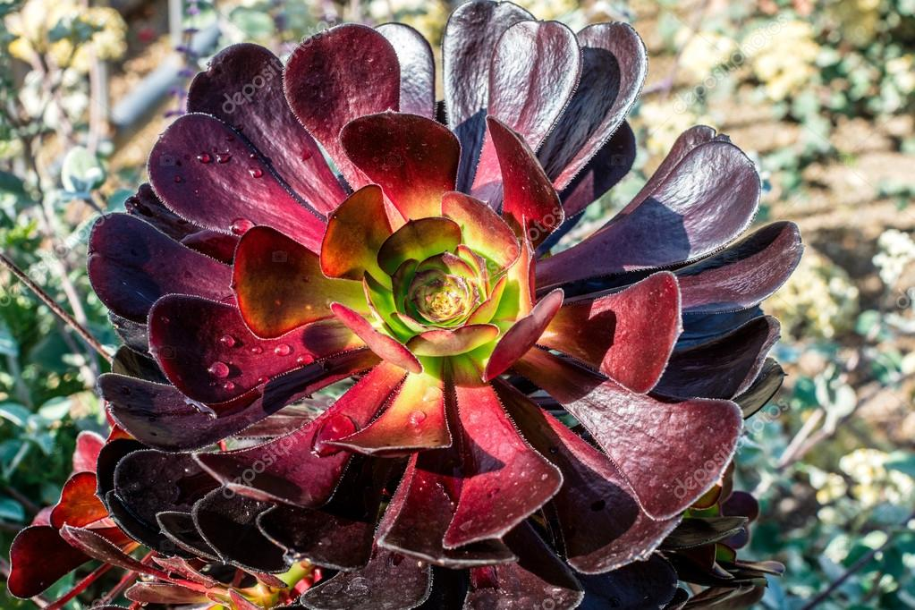 Purple succulent plant in a garden.