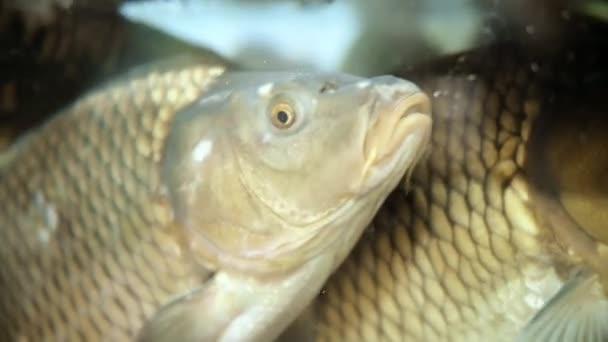 Živé rybí kapři plavání ve vodě velkého akvária v supermarketu zblízka. Koncepce prodeje mořských plodů