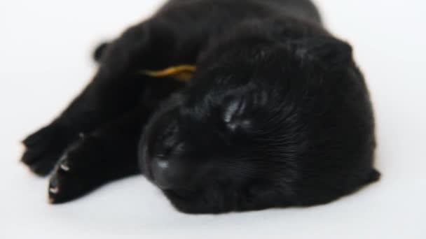 újszülött kiskutya német juhász alszik fekvő fehér háttér.