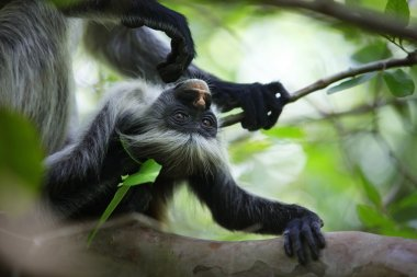 Family of colobus monkeys