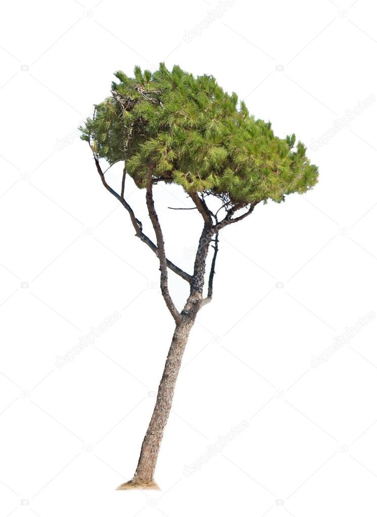 pine on white