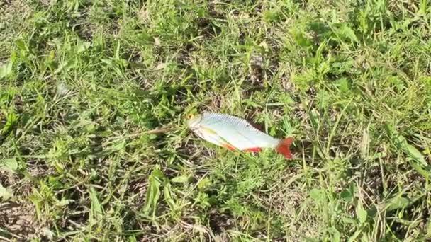 chytil rudd na trávě