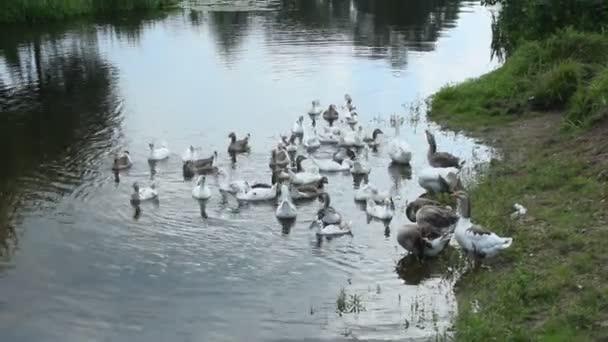 Luke des weißen Gänse schwimmen auf dem Fluss