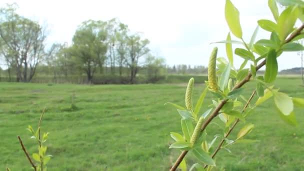a fűzfa tavasszal fiatal hajtások
