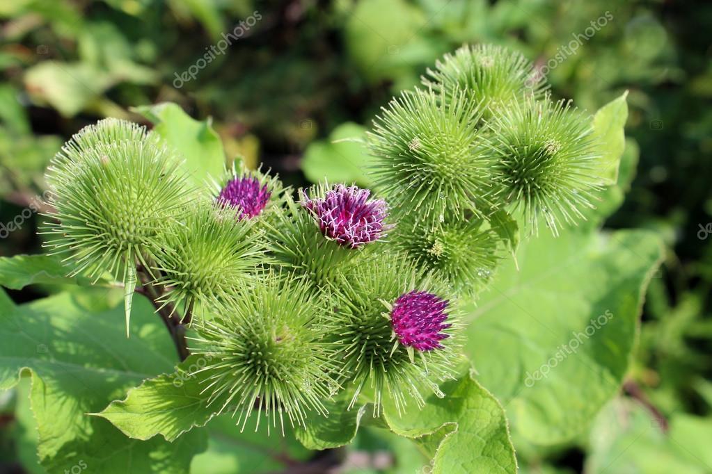 Flowers of prickles of a burdock