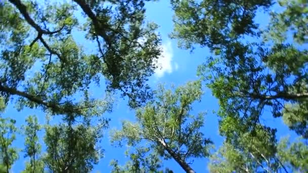 crowns of the trees and blue sky