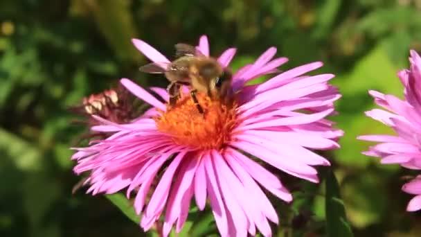 včela na aster a sbírat nektar