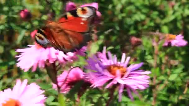 butterfly of peacock eye on the aster