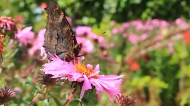 motýl na krásné červené Astry angliae