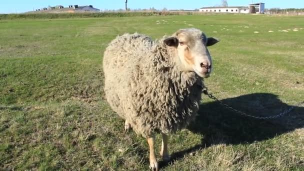 ovce pasoucí se na trávě