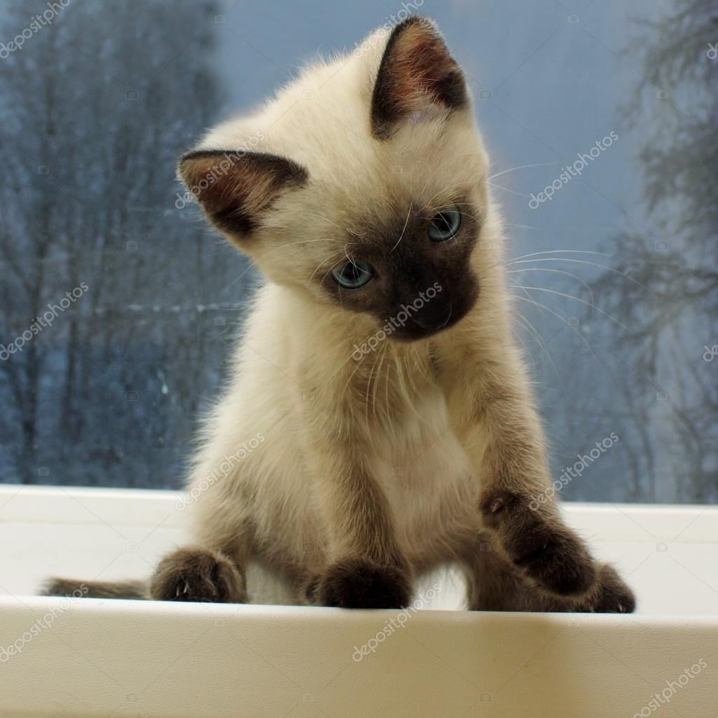 Cute little Siamese kitten — Stock © Fevralskaya T