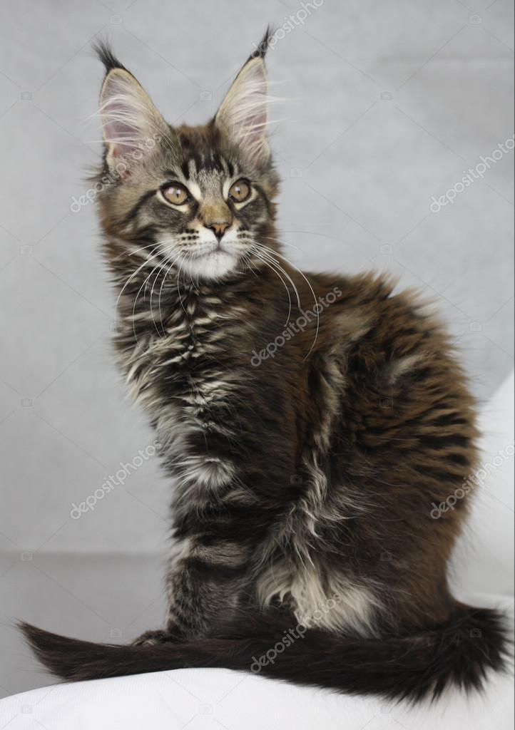 Katze Maine Coon Black Tabby Cat Kitten Portrait Stock Photo C Jenniferkrause 103110918