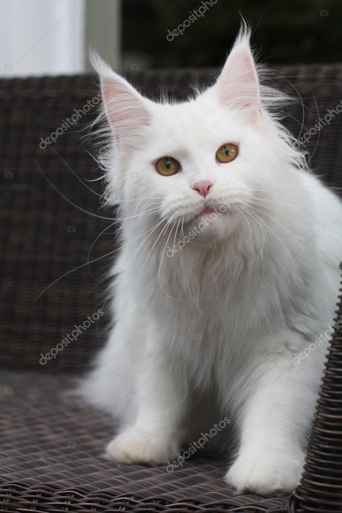 Katze Maine Coon Biały Zdjęcie Stockowe Jenniferkrause 106940694
