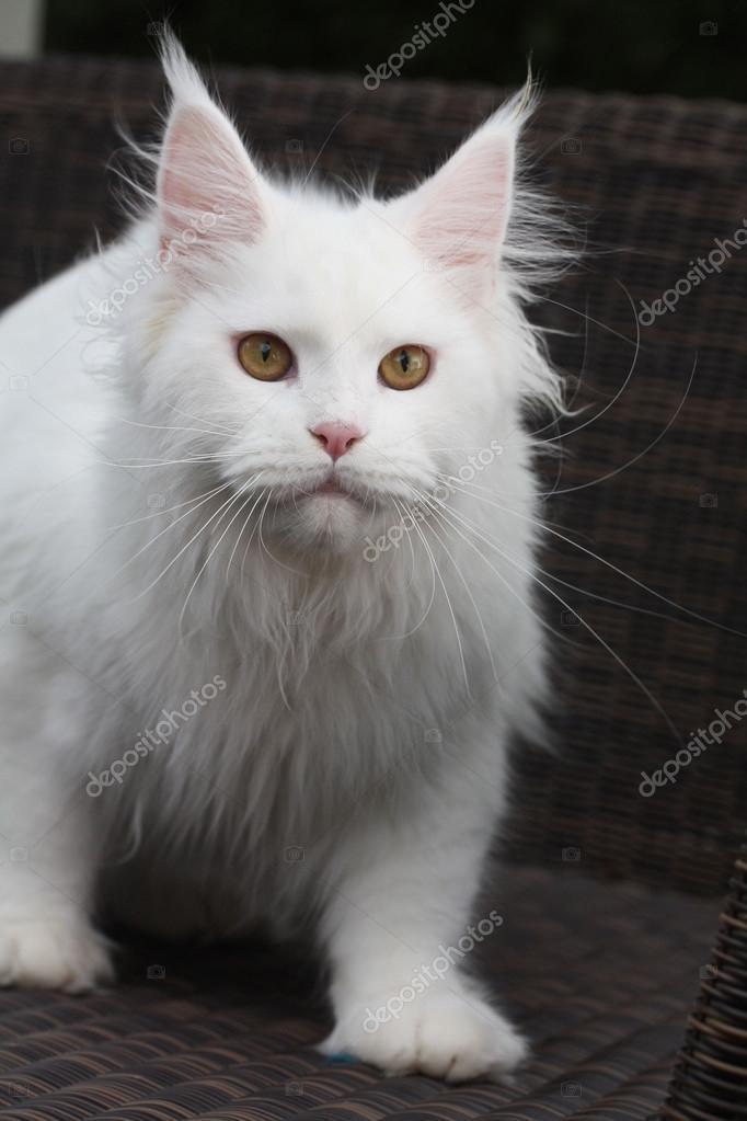 Katze Maine Coon Biały Zdjęcie Stockowe Jenniferkrause 106940696