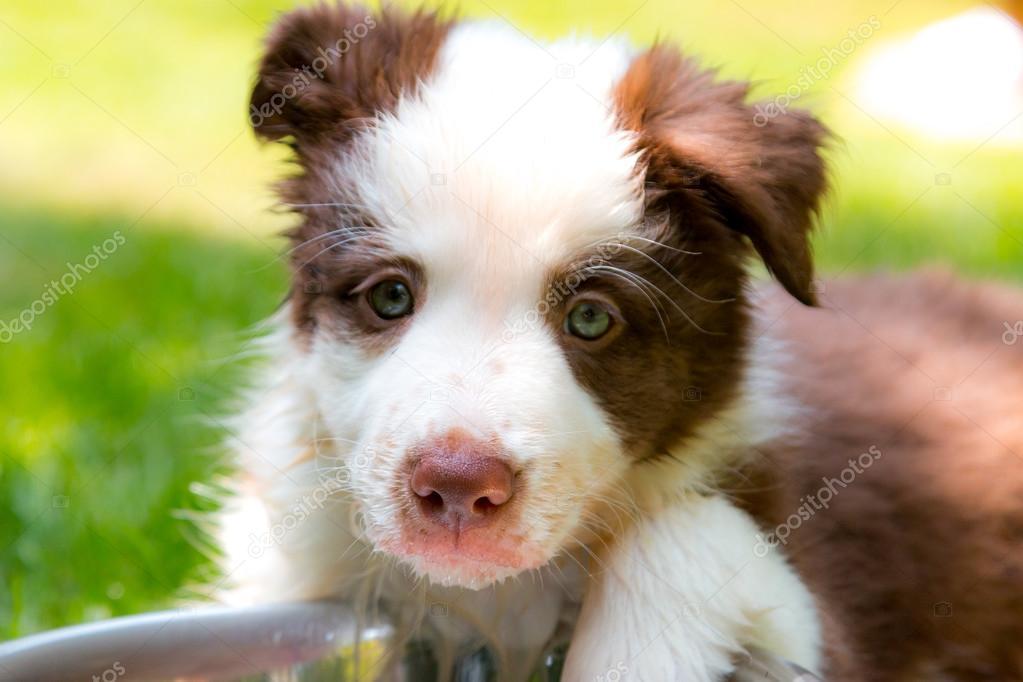 Red Border Collie Puppy Stock Photo Mayalain 77583562