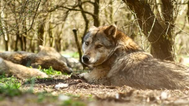 A beautiful european grey wolf resting and sleeping on the grass on a sunny day