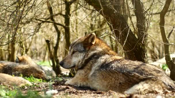Krásný evropský šedý vlk odpočívající a spící na trávě za slunečného dne