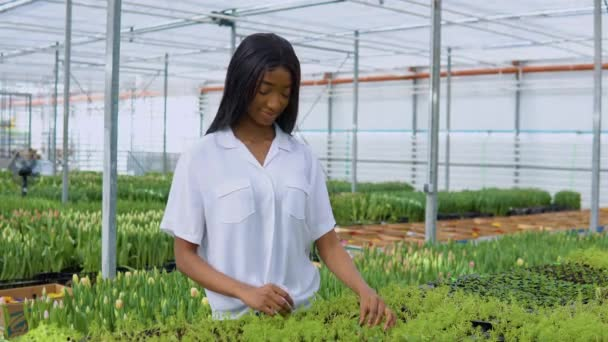 Afroameričanka v bílé košili zkoumá stav sazenic ve skleníku. Tulipány na pozadí
