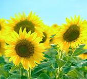 Krásné slunečnice a modré nebe