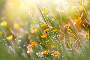 Beautiful yellow meadow flowers