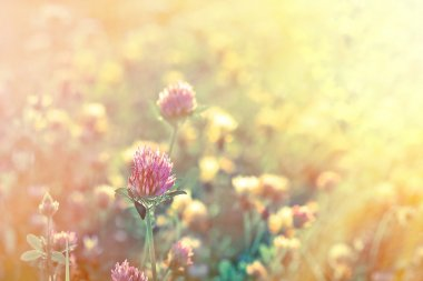 Red clover illuminated by the rays of the setting sun
