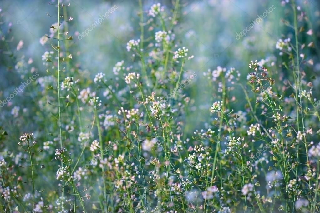 Little white meadow flowers stock photo lola19 68748445 little white meadow flowers stock photo mightylinksfo